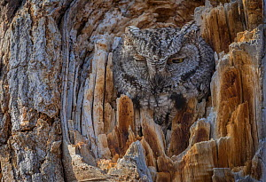 Western screech owl (Megascops kennicottii) is camouflaged as it looks from a tree cavity. Bosque del Apache National Wildlife Refuge, New Mexico, USA, January.  -  John Shaw