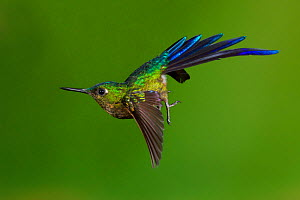 Violet-tailed sylph hummingbird (Aglaiocercus coelestis) in flight, about to land. Ecuador, May.  -  John Shaw