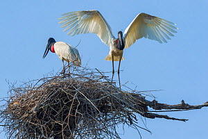 Jabiru storks (Jabiru mycteria) at their nest, along the Transpantaneira Highway, Pantanal, Brazil. September. - John Shaw
