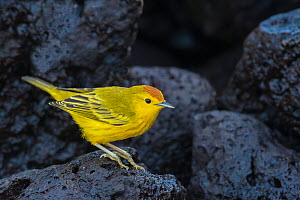 Yellow warbler (Setophaga petechia aureola) on lava rocks. Isabela Island, Galapagos. May.  -  John Shaw