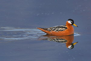 Red phalarope (Phalaropus fulicarius), swimming on a tundra pond. Spitsbergen, Svalbard, Norway. June.  -  John Shaw