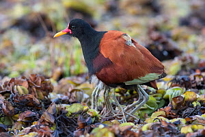 Wattled jacana (Jacana jacana), with chicks tucked under adult's feathers. Note the number of legs showing. Pantanal, Brazil. July.  -  John Shaw