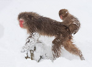 Snow monkey or Japanese macaque (Macaca fuscata) female with baby clinging to her back. Jigokudani, Japan, February.  -  John Shaw