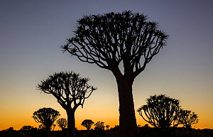 Quiver trees (Aloidendron dichotomum) silhouetted against dawn sky, Namibia, May.  -  John Shaw