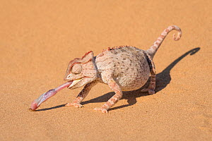 Namaqua chameleon (Chamaeleo namaquensis) catching larvae with its extended tongue. In the Namib desert near Swakopmund, Namibia.  -  John Shaw