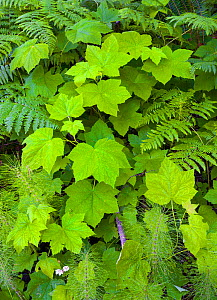 Large leaves on Pacific blackberry (Rubus ursinus) above bracken fern and horsetail, is a small wet area. Oregon, USA. June. - John Shaw