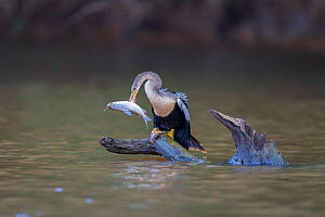 Anhinga (Anhinga anhinga) female catching a large fish on a backwater of the Cuiaba River, Pantanal, Brazil, September. - John Shaw