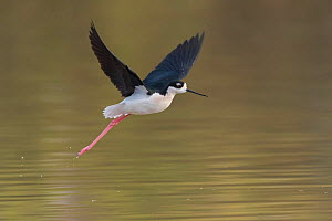 Black-necked stilt (Himantopus mexicanus) in flight. Gilbert Water Ranch, Arizona, USA. January.  -  John Shaw