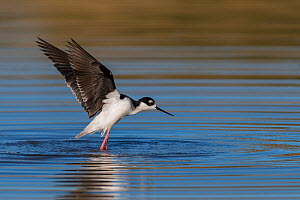 Black-necked stilt (Himantopus mexicanus) taking off, Gilbert Water Ranch, Arizona, USA. January.  -  John Shaw