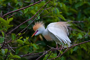 Cattle egret (Bubulcus ibis) in breeding plumage. Wakodahatchee Wetlands, Florida, USA, March. - John Shaw