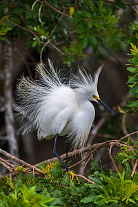 Snowy egret (Egretta thula) shows its breeding plumage. St. Johns Management Area, Florida, USA, March.  -  John Shaw