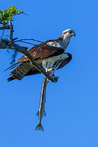 Osprey (Pandion haliaetus) with Atlantic needlefish (Strongylura marina) it has caught. Blue Cypress Lake, Florida, USA, April.  -  John Shaw