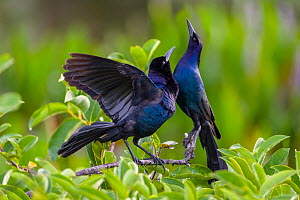 Common grackle pair (Quiscalus quiscula) in courtship display. Wakodahatchee Wetlands, Florida, USA, April.  -  John Shaw