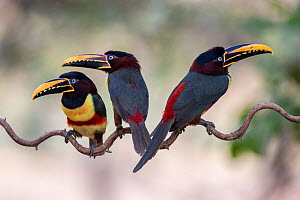 Chestnut-eared aracari (Pteroglossus castanotis) on cat-gut vine. Pantanal, Brazil, August.  -  John Shaw