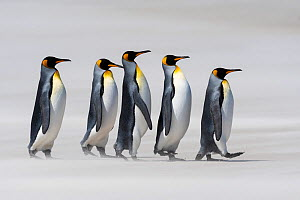 King penguins (Aptenodytes patagonicus) walking in line on a windy beach. Sanders Island, Falklands. November. - John Shaw
