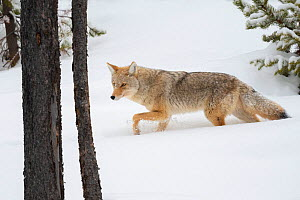 Coyote (Canis latrans) hunting in winter woods, Yellowstone National Park, Wyoming, USA. January. - John Shaw