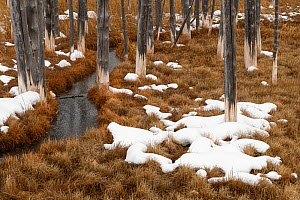 Dead lodgepole pines show their white 'bobby socks' from the mineral laden thermal water near Tangle Creek, Yellowstone National Park, Wyoming, USA. January. - John Shaw