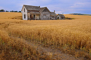 Abandoned house in middle of a wheat field. Palouse farming area, south eastern Washington, USA, August.  -  John Shaw