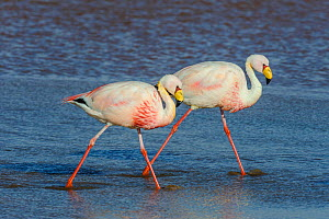 James' flamingo / Puna flamingo (Phoenicoparrus jamesi). Lago Colorado, Bolivia. March.  -  John Shaw