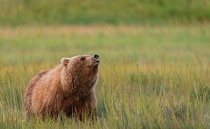 Brown bear / Grizzly bear (Ursus arctos) in a sedge meadow, sniffing the air. Lake Clark National Park, Alaska. August. - John Shaw