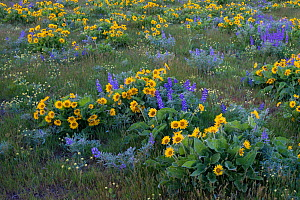 Arrowleaf balsamroot (Balsamorhiza sagittata) and lupine Lupinus lepidus) in the dry hills along the eastern end of the Columbia Gorge. Washington, USA. April. - John Shaw