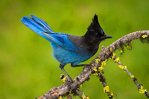 Steller's jay (Cyanocitta stelleri) perched on branch. British Columbia, Canada, June. - John Shaw