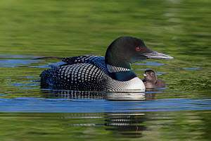 Common loon (Gavia immer) with a chick alongside. British Columbia, Canada. June. - John Shaw