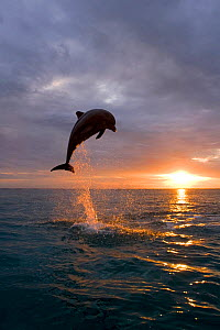 Common bottlenose dolphin (Tursiops truncatus) jumping out of sea at sunset, Caribbean Sea. Controlled conditions. - Klein & Hubert