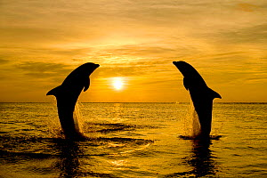 Two Common bottlenose dolphin (Tursiops truncatus) jumping out of sea at sunset. Caribbean Controlled conditions. - Klein & Hubert