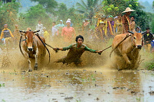 Two oxen pulling man in sled through post-harvest flooded rice field, crowd watching in background. Rice race during Pacu Jawi, a religious event with parades, ceremonies and weddings. The most powerf...  -  Enrique Lopez-Tapia