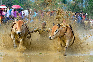 Oxen, two pulling man in sled through post-harvest flooded rice field, crowd watching on bank. Rice race during Pacu Jawi, a religious event with parades, ceremonies and weddings. The most powerful ca... - Enrique Lopez-Tapia