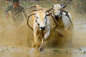 Two oxen pulling man in sled through post-harvest flooded rice field. Rice race during Pacu Jawi, a religious event with parades, ceremonies and weddings. The most powerful cattle are sold for a good...  -  Enrique Lopez-Tapia
