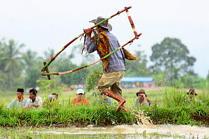 Man carrying wooden frame used during sled race with Oxen, walking at edge of rice paddy during Pacu Jawi, a religious event with parades, ceremonies and weddings. Southern Sumatra, Indonesia. 2015.  -  Enrique Lopez-Tapia