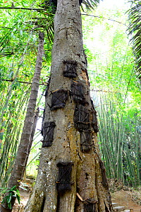 Funeral tree for deceased babies, Tana Toraja. Toraja is an ethnic group in West and South Sulawesi. The culture revolves around death with funeral ceremonies an important part of daily life. Indonesi... - Enrique Lopez-Tapia