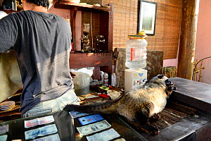 Coffee shop with Asian palm civet (Paradoxurus hermaphroditus) on counter. Many civets are drugged to sleep quietly and not escape. Coffee beans are fed to civets, ferment in the gut, excreted and use... - Enrique Lopez-Tapia