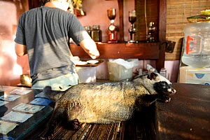 Asian palm civet (Paradoxurus hermaphroditus) lying down on coffee shop counter. Many civets are drugged to sleep quietly and not escape. Coffee beans are fed to civets, ferment in the gut, excreted a... - Enrique Lopez-Tapia