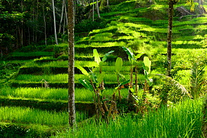 Palms growing in front of Rice (Oryza sativa) terrace. Jatiluwih Green Land, Bali, Indonesia. 2015.  -  Enrique Lopez-Tapia