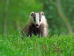 RF - European Badger (Meles meles) cub in grassland. Scotland, UK. June. (This image may be licensed either as rights managed or royalty free.) - Andy Rouse
