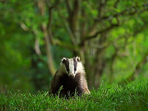 European badger (Meles meles) cub in grassland with woodland behind. Scotland, UK. June.  -  Andy Rouse