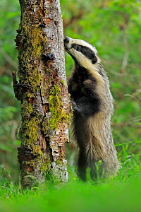 European badger (Meles meles) cub licking tree trunk. Scotland, UK. August. - Andy Rouse