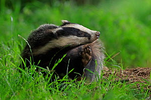 European badger (Meles meles) cub scratching face. Scotland, UK. July. - Andy Rouse