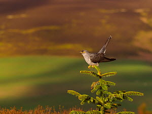 Cuckoo (Cuculus canorus) male perched at top of tree, moorland in background. Wales, UK. May.  -  Andy Rouse