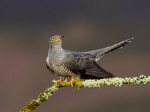 Cuckoo (Cuculus canorus) perched on lichen covered branch. Wales, UK. May.  -  Andy Rouse