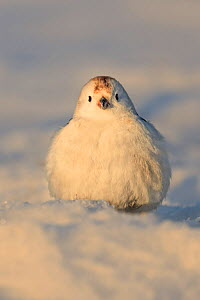 Snow bunting (Plectrophenax nivalis) male in snow. Finland. April.  -  Andy Rouse