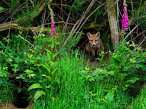 European red fox (Vulpes vulpes) cub sitting beside den, on bank with Foxglove (Digitalis purpurea). UK. June.  -  Andy Rouse