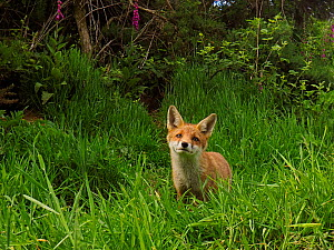 European red fox (Vulpes vulpes) cub in grassland close to den. UK. June.  -  Andy Rouse