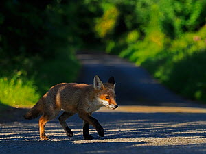 European red fox (Vulpes vulpes) cub crossing lane close to den. UK. June. - Andy Rouse