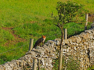 European red fox (Vulpes vulpes) vixen on wall. UK. June.  -  Andy Rouse
