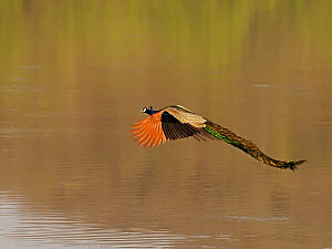 Indian peafowl (Pavo cristatus) male flying over water. Ranthambhore National Park, India. - Andy Rouse