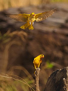 Golden oriole (Oriolus oriolus) pair, male perched on stump, female flying above. Ranthambhore National Park, India.  -  Andy Rouse